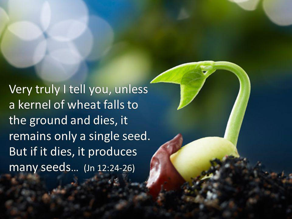 Very truly I tell you, unless a kernel of wheat falls to the ground and dies, it remains only a single seed. But if it dies, it produces many seeds …