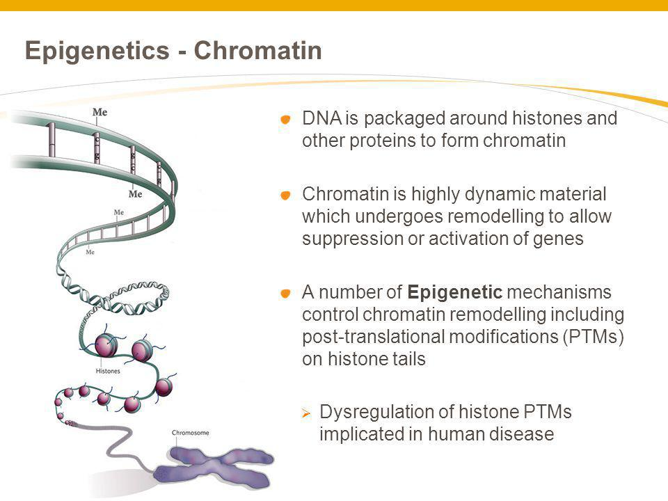 Epigenetics - Chromatin DNA is packaged around histones and other proteins to form chromatin Chromatin is highly dynamic material which undergoes remo