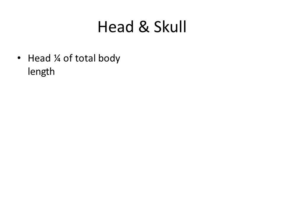Head & Skull Head ¼ of total body length