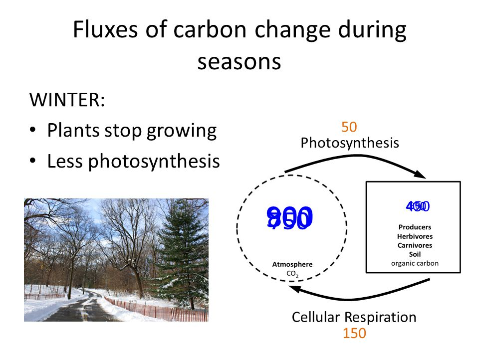 Fluxes of carbon change during seasons WINTER: Plants stop growing Less photosynthesis Photosynthesis Cellular Respiration 800 400 50 150 300 450 900 750