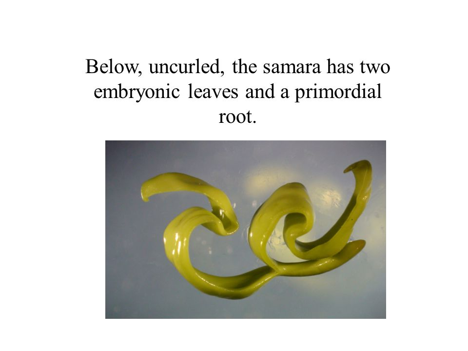 Below, uncurled, the samara has two embryonic leaves and a primordial root.