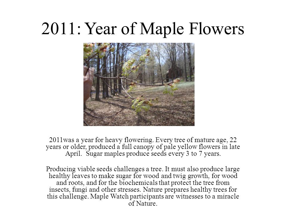 2011: Year of Maple Flowers 2011was a year for heavy flowering.