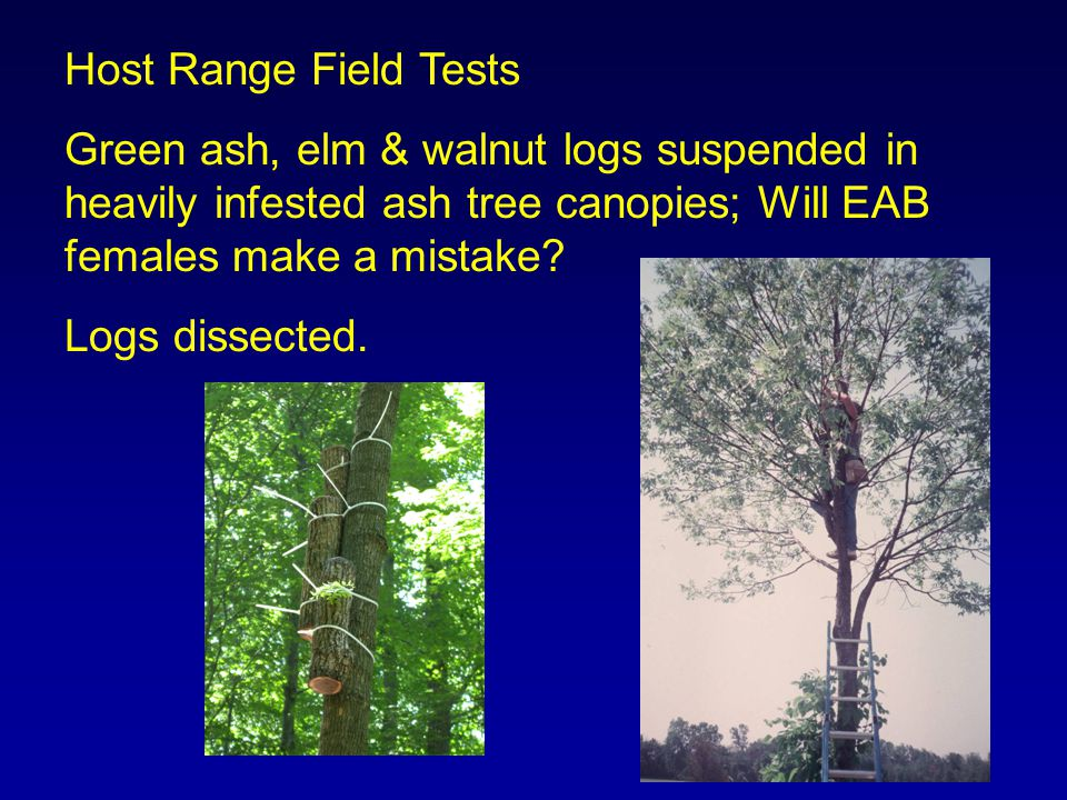 Host Range Field Tests Green ash, elm & walnut logs suspended in heavily infested ash tree canopies; Will EAB females make a mistake.