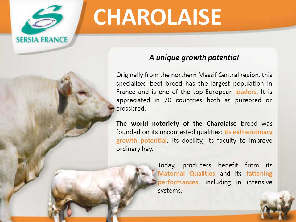 A unique growth potential Originally from the northern Massif Central region, this specialized beef breed has the largest population in France and is