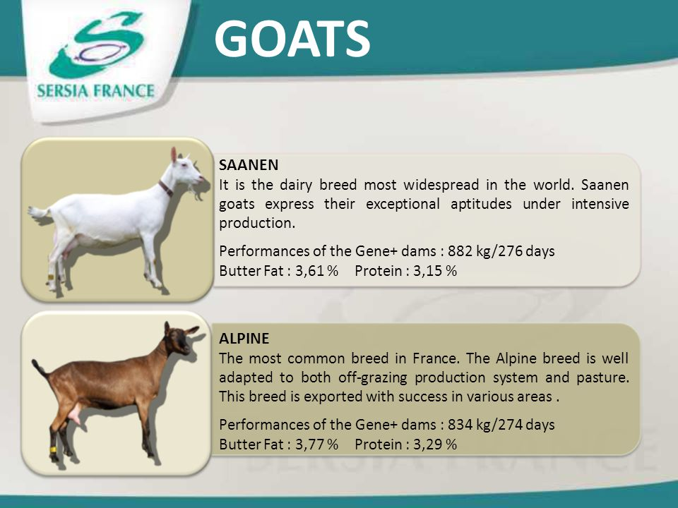 GOATS ALPINE The most common breed in France. The Alpine breed is well adapted to both off-grazing production system and pasture. This breed is export
