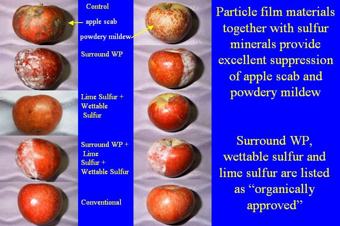 Control Conventional Surround WP Lime Sulfur + Wettable Sulfur Surround WP + Lime Sulfur + Wettable Sulfur Particle film materials together with sulfur minerals provide excellent suppression of apple scab and powdery mildew Surround WP, wettable sulfur and lime sulfur are listed as organically approved apple scab apple scab powdery mildew