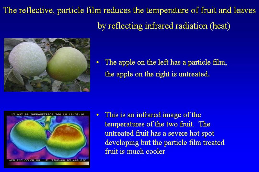 The reflective, particle film reduces the temperature of fruit and leaves by reflecting infrared radiation (heat) The apple on the left has a particle
