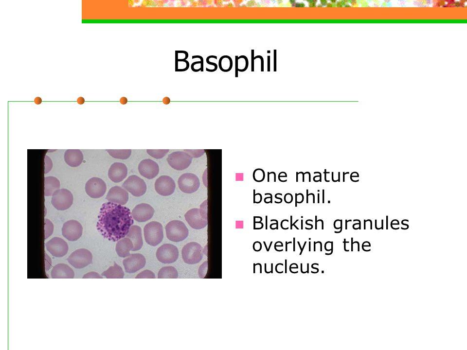 Basophil One mature basophil. Blackish granules overlying the nucleus.