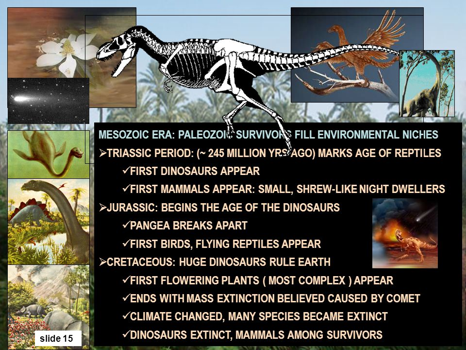 MESOZOIC ERA: PALEOZOIC SURVIVORS FILL ENVIRONMENTAL NICHES TRIASSIC PERIOD: (~ 245 MILLION YRS AGO) MARKS AGE OF REPTILES FIRST DINOSAURS APPEAR FIRS