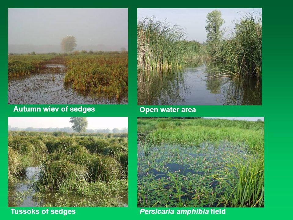 Autumn wiev of sedges Open water area Tussoks of sedgesPersicaria amphibia field