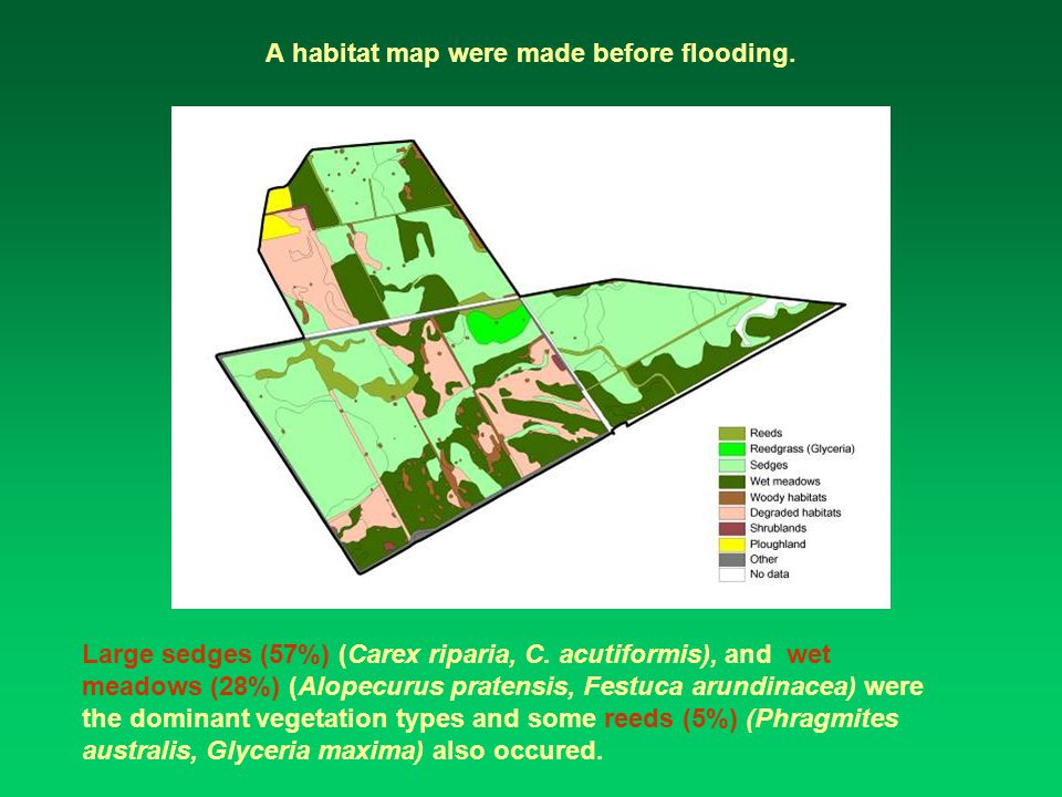 A habitat map were made before flooding. Large sedges (57%) (Carex riparia, C.