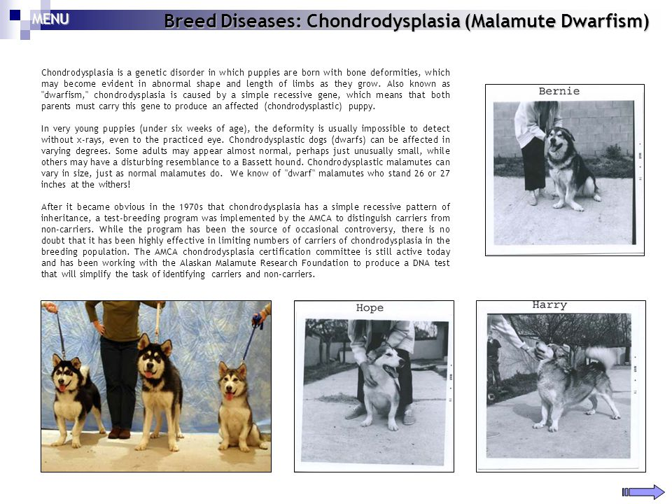 Breed Diseases: Chondrodysplasia (Malamute Dwarfism) Chondrodysplasia is a genetic disorder in which puppies are born with bone deformities, which may