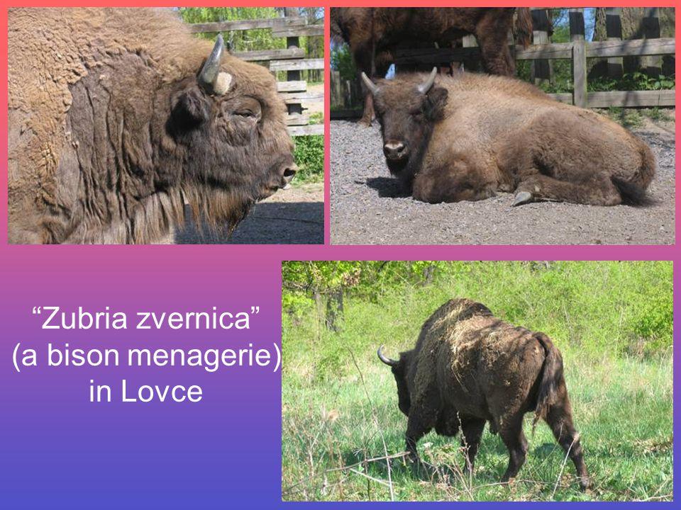 Zubria zvernica (a bison menagerie) in Lovce