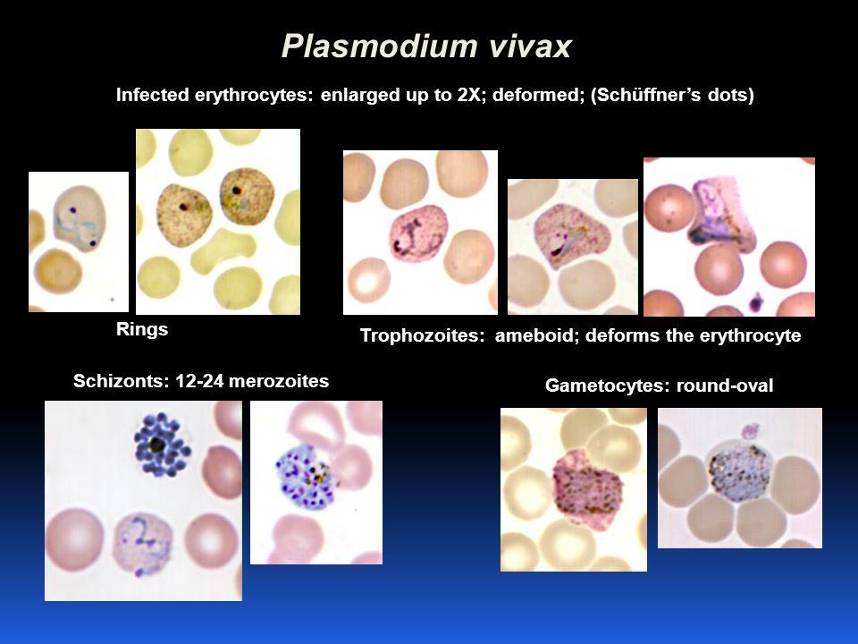 Plasmodium vivax Trophozoites: ameboid; deforms the erythrocyte Gametocytes: round-oval Schizonts: 12-24 merozoites Rings Infected erythrocytes: enlar