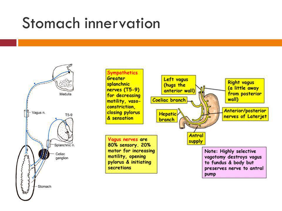Stomach innervation