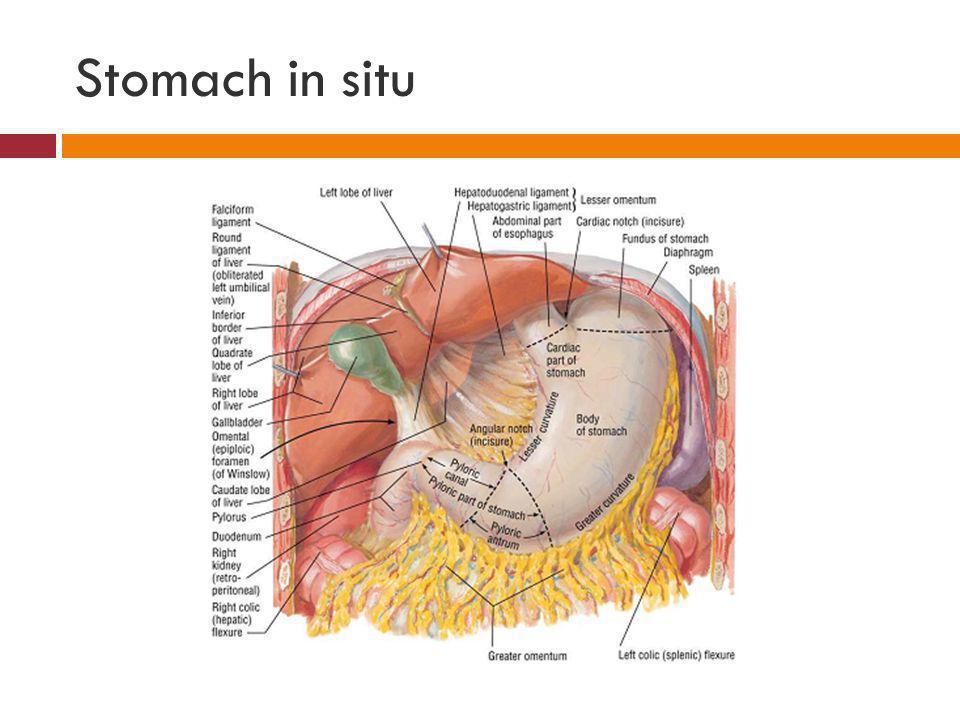 Stomach in situ