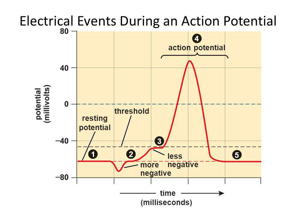 5 3 4 12 time (milliseconds) resting potential action potential threshold less negative more negative Electrical Events During an Action Potential