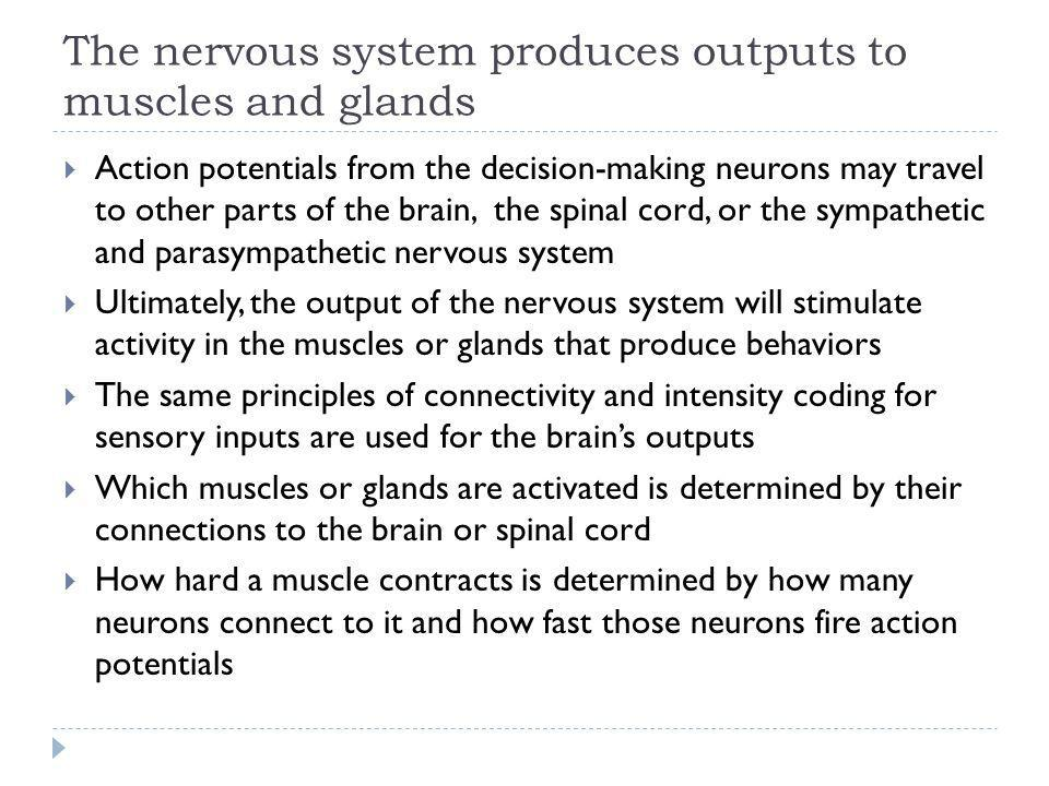 The nervous system produces outputs to muscles and glands Action potentials from the decision-making neurons may travel to other parts of the brain, t