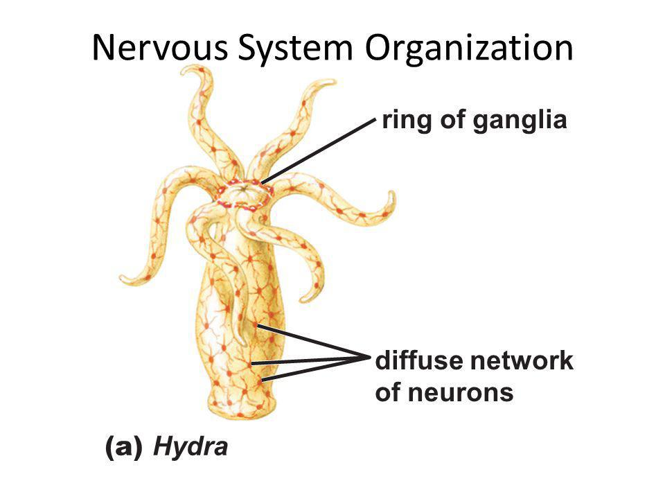 ring of ganglia diffuse network of neurons (a) Hydra Nervous System Organization
