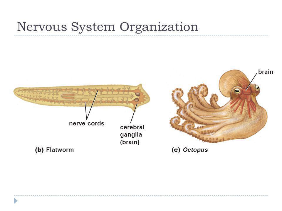 Nervous System Organization nerve cords cerebral ganglia (brain) brain (b) Flatworm (c) Octopus
