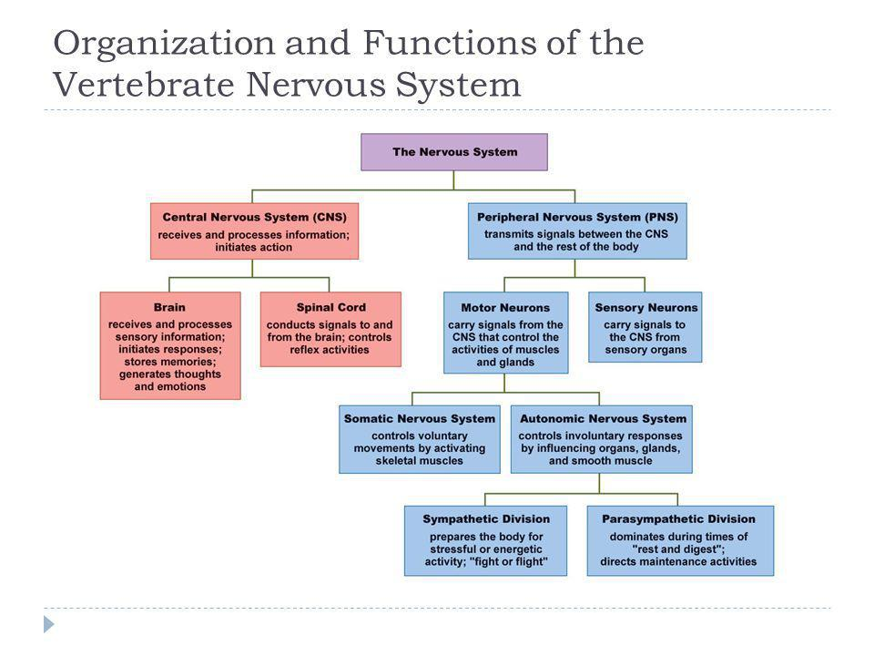 Organization and Functions of the Vertebrate Nervous System