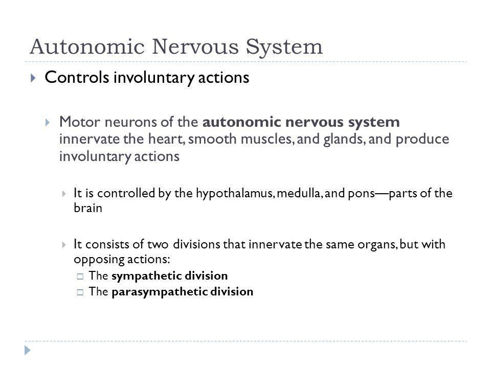 Autonomic Nervous System Controls involuntary actions Motor neurons of the autonomic nervous system innervate the heart, smooth muscles, and glands, a