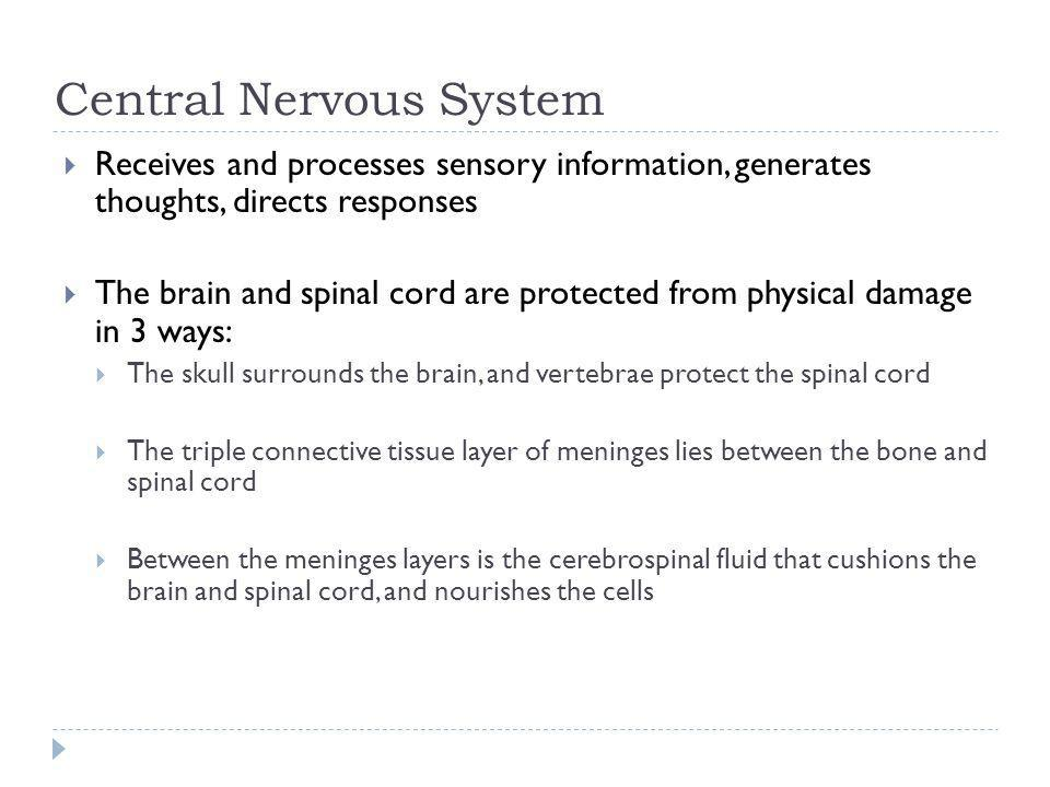 Central Nervous System Receives and processes sensory information, generates thoughts, directs responses The brain and spinal cord are protected from