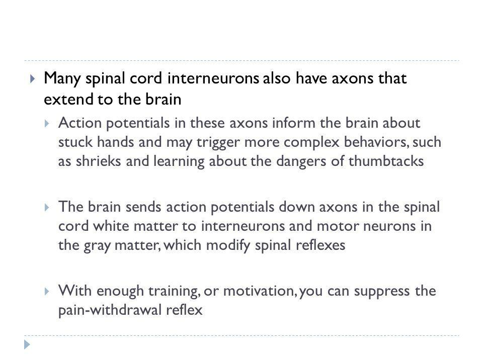 Many spinal cord interneurons also have axons that extend to the brain Action potentials in these axons inform the brain about stuck hands and may tri