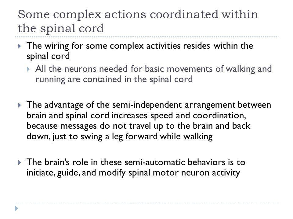 Some complex actions coordinated within the spinal cord The wiring for some complex activities resides within the spinal cord All the neurons needed f