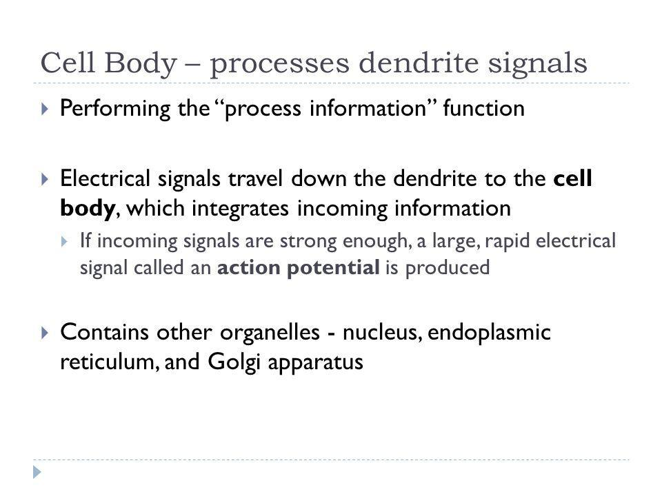 Cell Body – processes dendrite signals Performing the process information function Electrical signals travel down the dendrite to the cell body, which
