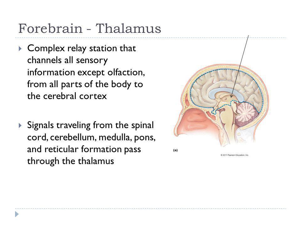 Forebrain - Thalamus Complex relay station that channels all sensory information except olfaction, from all parts of the body to the cerebral cortex S