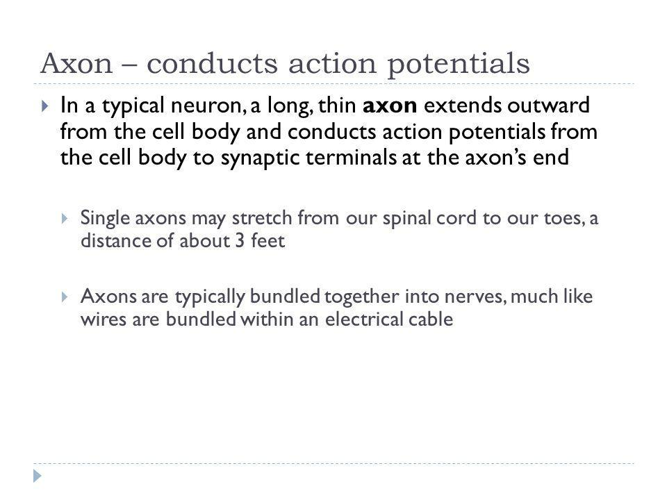 Axon – conducts action potentials In a typical neuron, a long, thin axon extends outward from the cell body and conducts action potentials from the ce