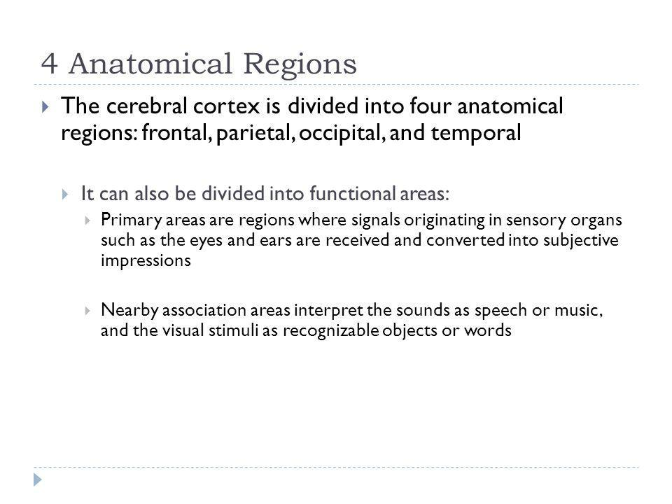4 Anatomical Regions The cerebral cortex is divided into four anatomical regions: frontal, parietal, occipital, and temporal It can also be divided in