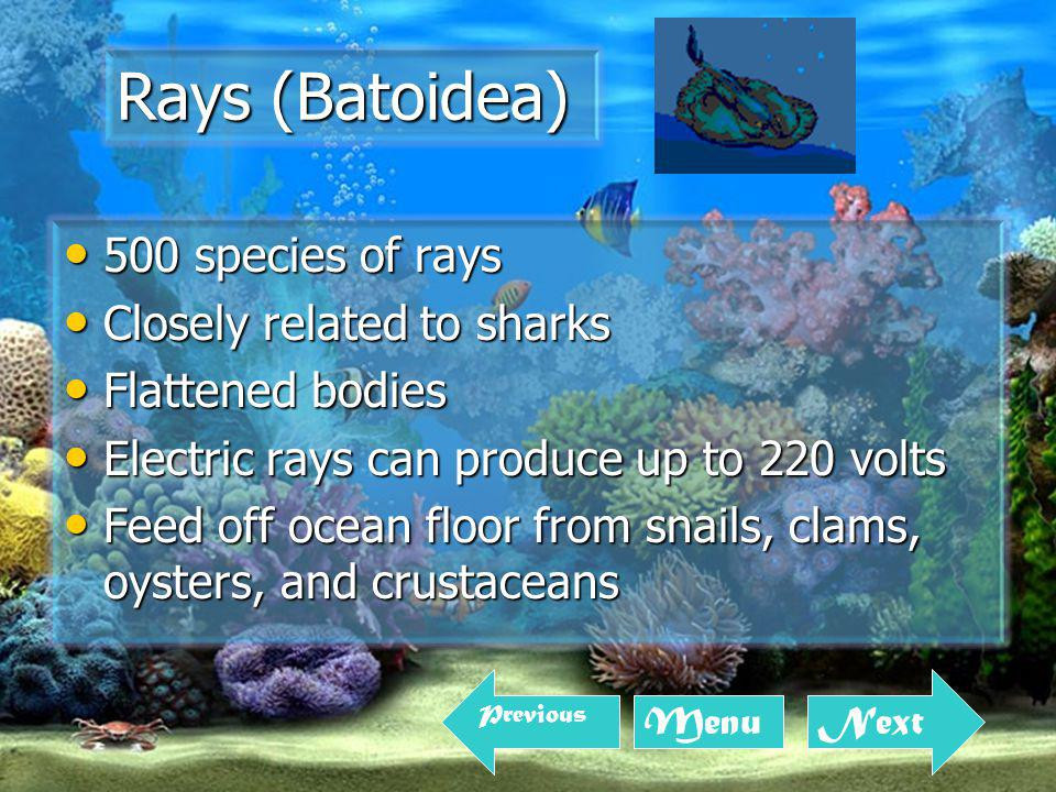 500 species of rays 500 species of rays Closely related to sharks Closely related to sharks Flattened bodies Flattened bodies Electric rays can produce up to 220 volts Electric rays can produce up to 220 volts Feed off ocean floor from snails, clams, oysters, and crustaceans Feed off ocean floor from snails, clams, oysters, and crustaceans Rays (Batoidea) Next Menu Previous