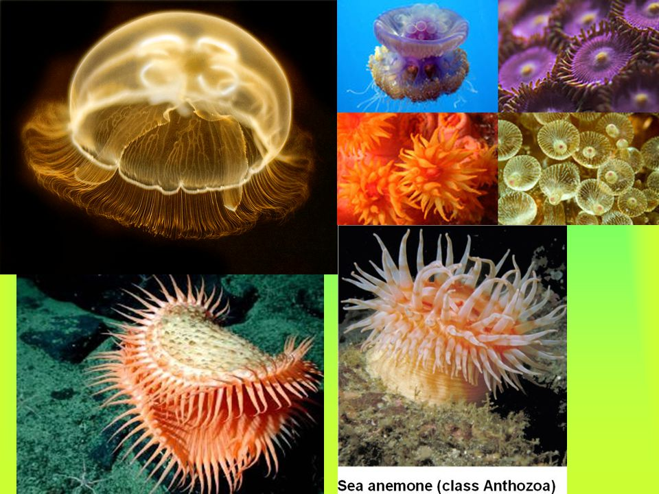 Cnidarians are a phylum of invertebrate animals that have stinging cells and take food into a central body cavity. The stinging cells allow them to ca
