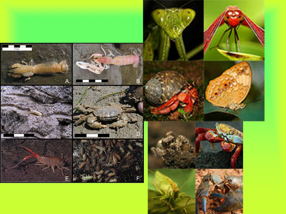 Arthropods Arthropods (phylum Arthropoda) are invertebrates that have an external skeleton, a segmented body, and jointed appendages. They have bilate