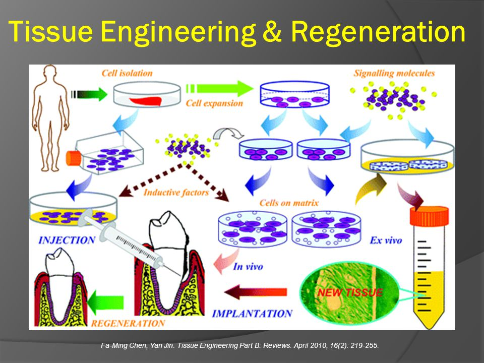 Tissue Engineering & Regeneration Fa-Ming Chen, Yan Jin. Tissue Engineering Part B: Reviews. April 2010, 16(2): 219-255.