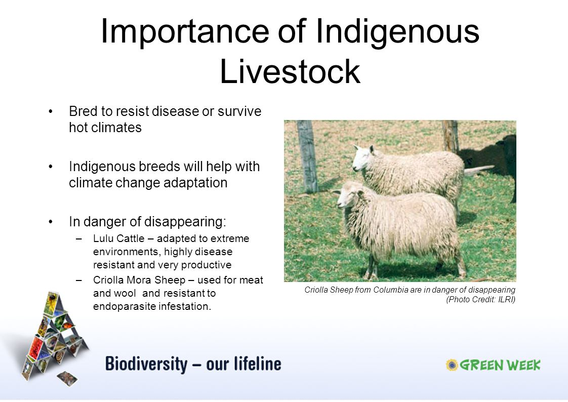 Importance of Indigenous Livestock Bred to resist disease or survive hot climates Indigenous breeds will help with climate change adaptation In danger