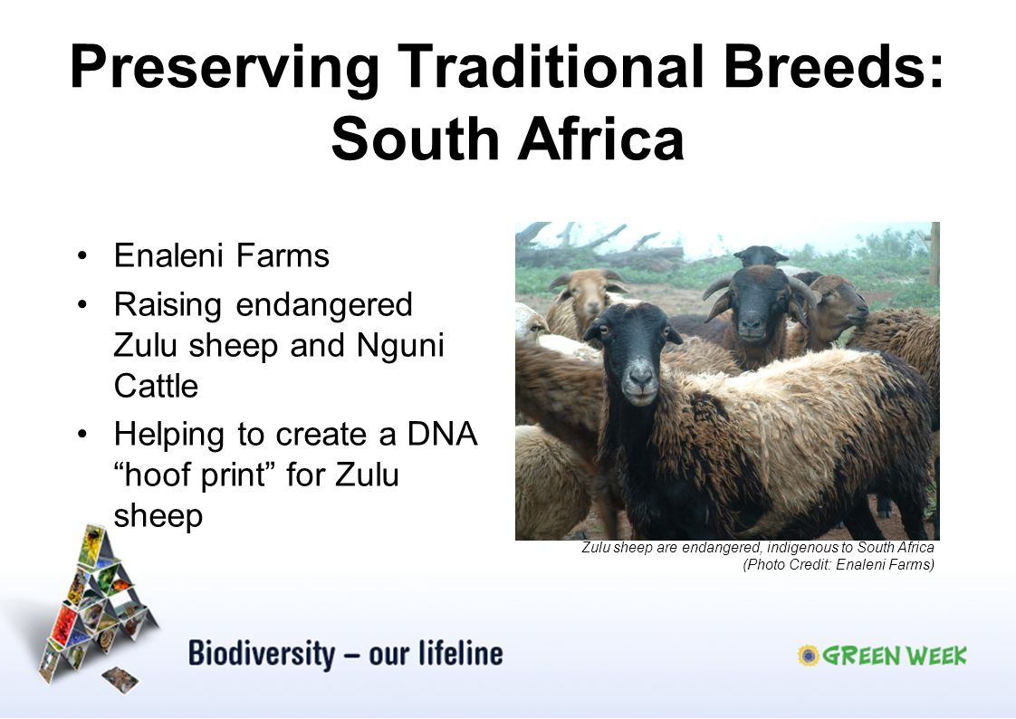 Preserving Traditional Breeds: South Africa Enaleni Farms Raising endangered Zulu sheep and Nguni Cattle Helping to create a DNA hoof print for Zulu s