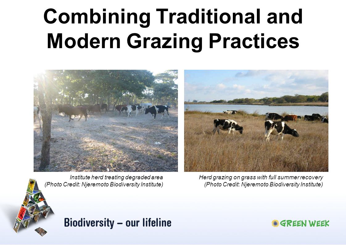 Combining Traditional and Modern Grazing Practices Herd grazing on grass with full summer recovery (Photo Credit: Njeremoto Biodiversity Institute) In
