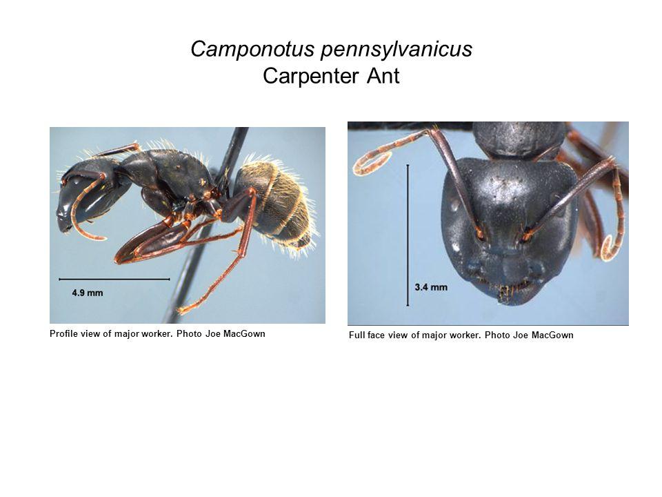 Camponotus pennsylvanicus Carpenter Ant Profile view of major worker.