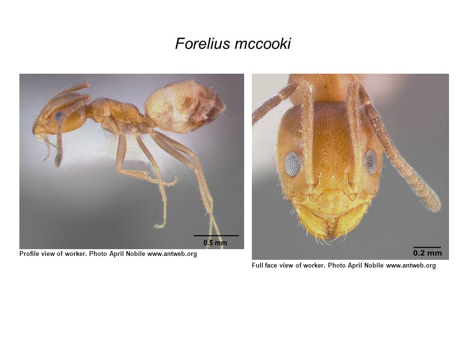 Forelius mccooki Profile view of worker.