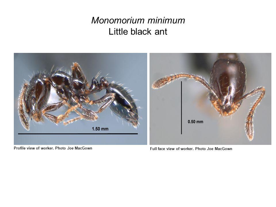 Monomorium minimum Little black ant Profile view of worker.