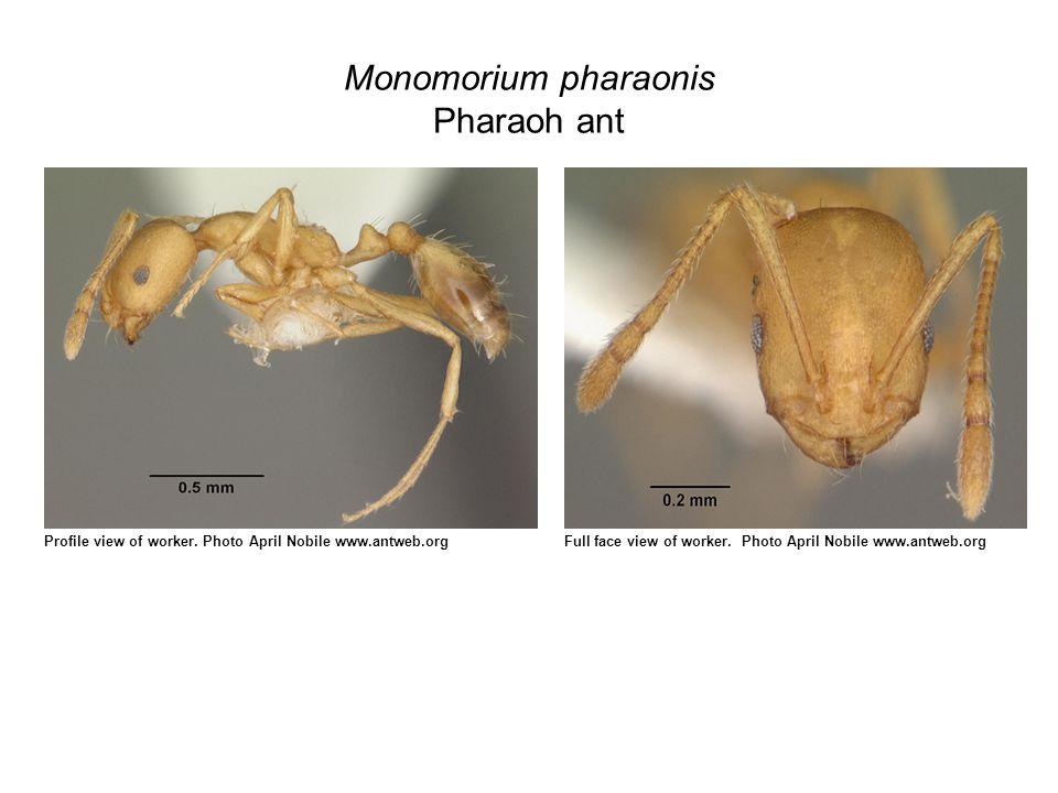 Monomorium pharaonis Pharaoh ant Profile view of worker.