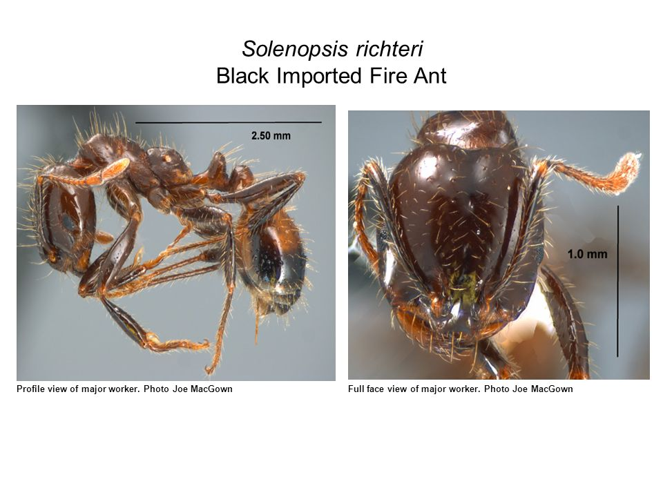 Solenopsis richteri Black Imported Fire Ant Profile view of major worker.