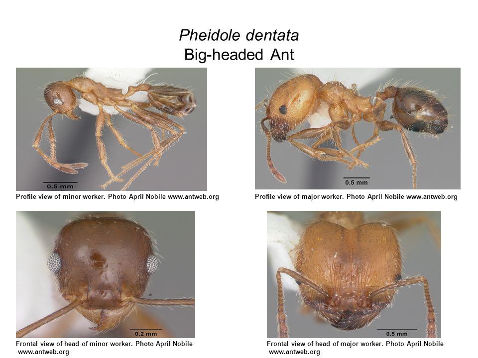 Pheidole dentata Big-headed Ant Profile view of minor worker.