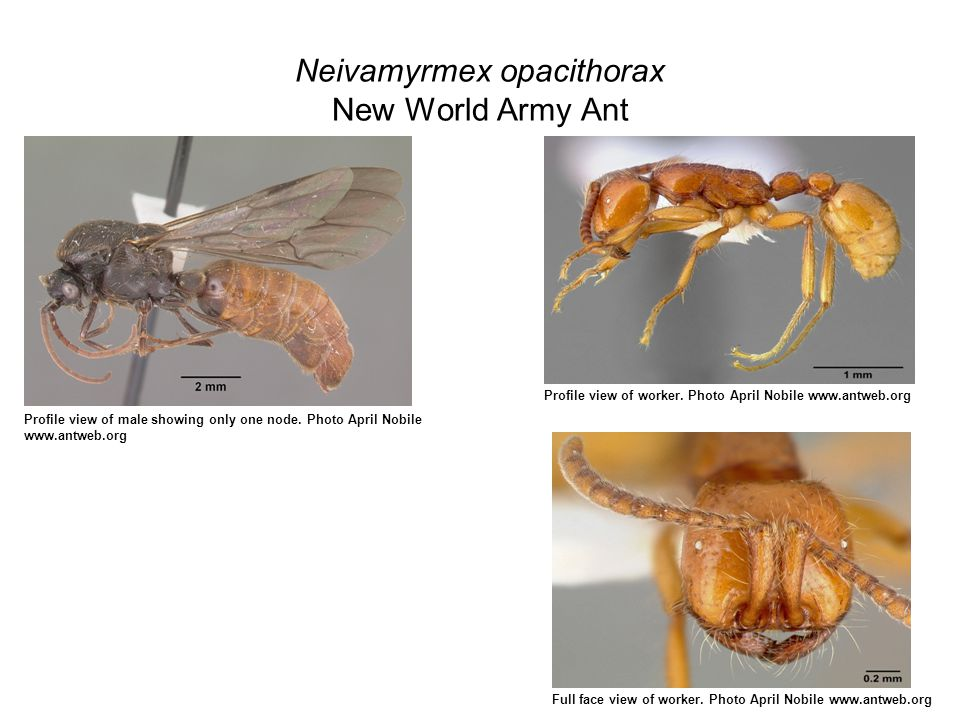 Neivamyrmex opacithorax New World Army Ant Profile view of male showing only one node.