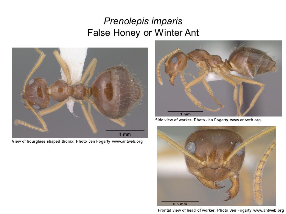 Prenolepis imparis False Honey or Winter Ant View of hourglass shaped thorax.