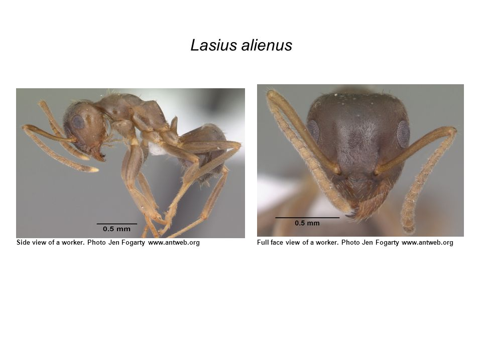 Lasius alienus Side view of a worker. Photo Jen Fogarty www.antweb.orgFull face view of a worker.