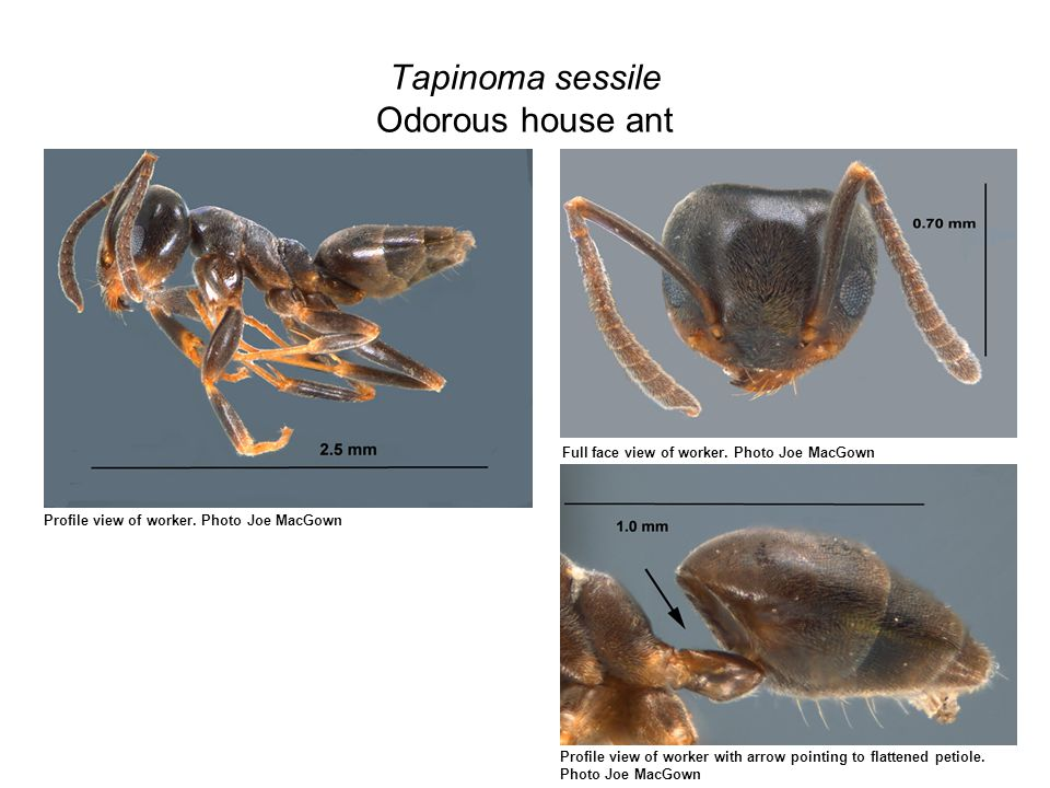 Tapinoma sessile Odorous house ant Profile view of worker.
